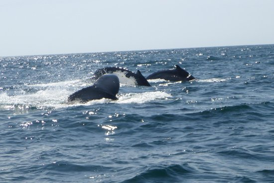 Port Macquarie Cruise Adventures: 6 whales cruising along
