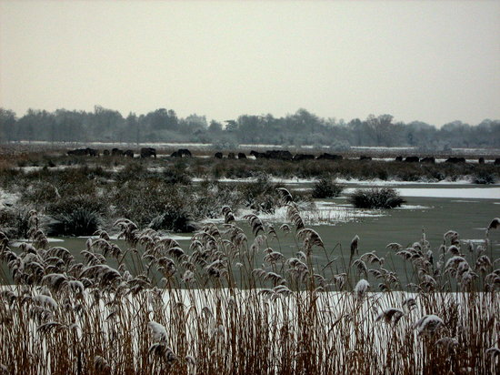 Wicken Fen National Nature Reserve: Wicken Fen and the ponies in the snow