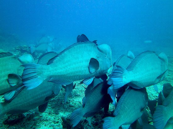 Diversia Diving: bumphead parrot