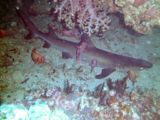 Diversia Diving: white tip shark