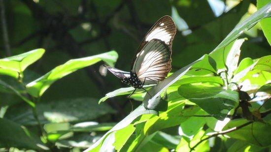 Arabuko-Sokoke Forest: otra mariposa