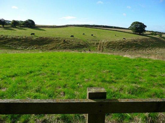 Farfields Farm Bed and Breakfast: Farfield Farm's cattle grazing.