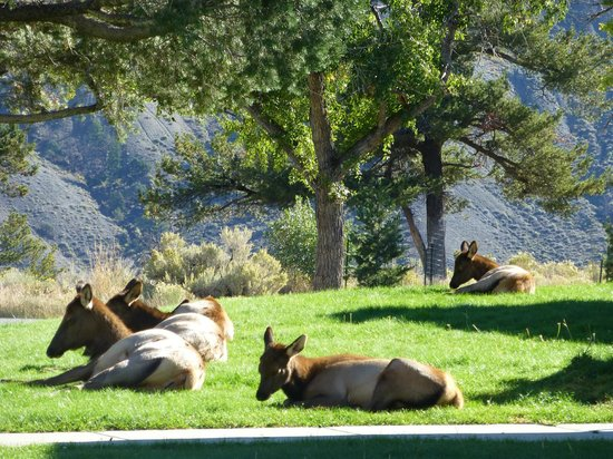 Riverside Cottages: Elk in Mammoth Springs 5 miles away