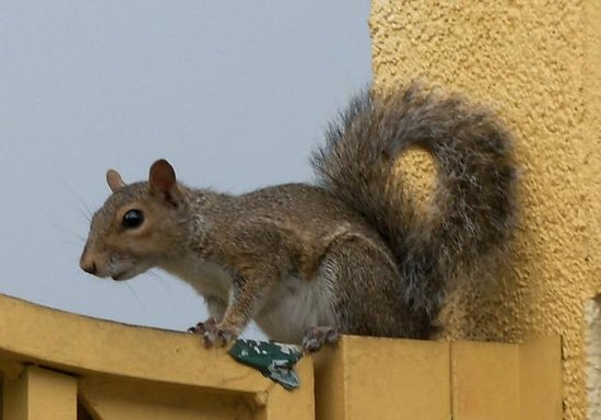 La Quinta Inn & Suites Clearwater South: Squirrel