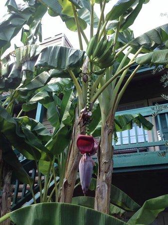 Habitat Suites Hotel: bananenbomen op het terrein!