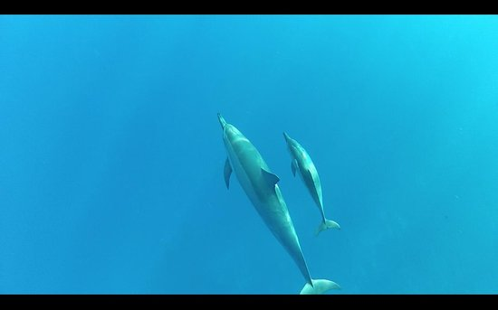 Coral Reef Snorkel Adventures: baby dolphin with its mother