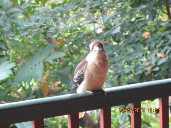 Mossman Gorge Bed and Breakfast: Kookaburra waits for breakfast