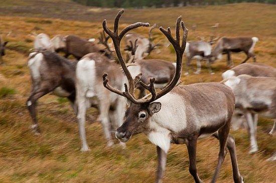 Cairngorm Reindeer Herd: Cairngorm reindeer centre