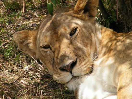 Enkewa Camp : Siesta en la sabana