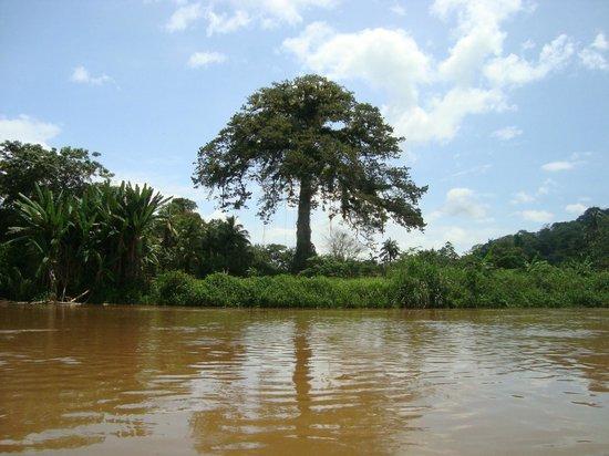 La Laguna del Lagarto Lodge: Ceiba en el Río San Carlos