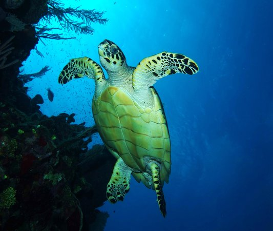 Anthony's Key Resort: hawksbill turtle