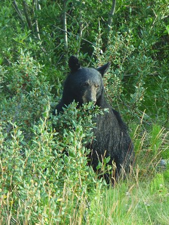 Jasper Tour Company: Black bear!