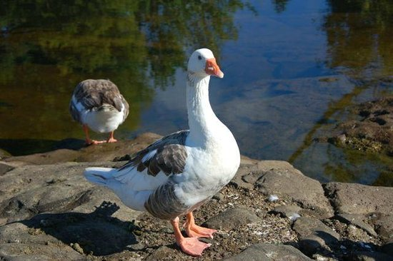 The Stone Store & Kemp House - Kerikeri Mission Station: Geese near Stone House