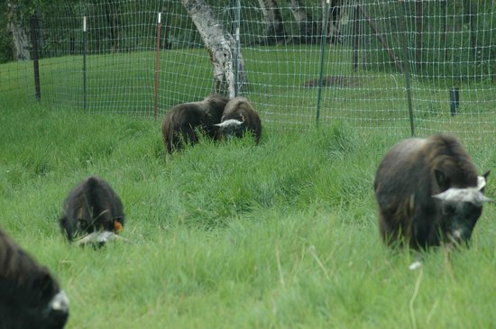 Musk Ox Farm: Young Musk Ox