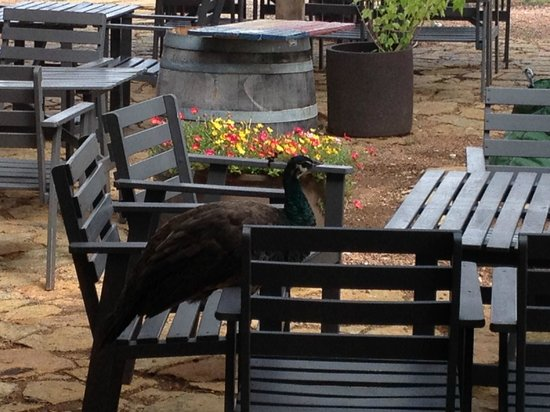 Hilmy Cellars: Peacock on the Patio