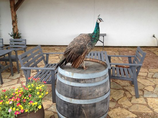 Hilmy Cellars: Another Peacock on the Patio