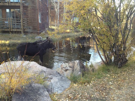 Spring Creek Ranch : A moose in the pond next to the lodgings.