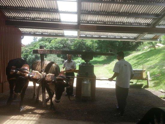 El Trapiche Tour: old style sugar cane milling