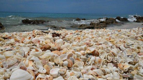 Caspersen Beach: Abundant shells along the shoreline!