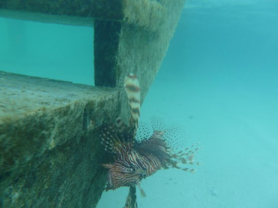 Gangehi Island Resort: A lion fish that visited our steps a few mornings.