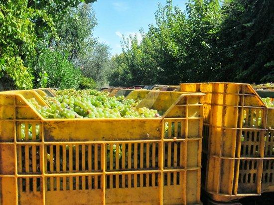 Arbustum Azienda Agrituristica : uva Asprinio