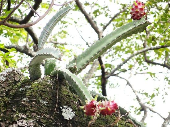 Hotel Hacienda Guachipelin: dragon fruit