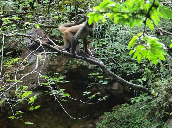 Hacienda Guachipelin: Spider Monkey