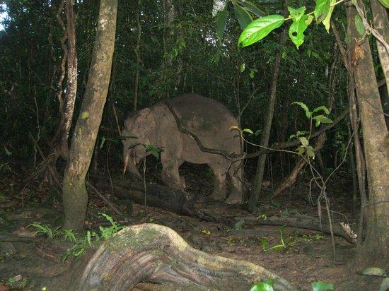 Sukau Evergreen Lodge : Durante il giro in barca pomeridiano abbiamo visto questo elefantino!!!
