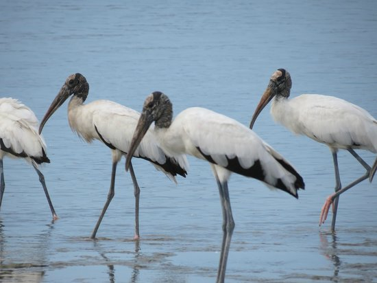 Sebastian Inlet State Recreation Area: Wood Storks