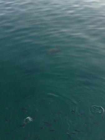 Pousada Cruzoé: Tartaruga vista do deck da pousada
