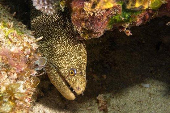 Manta Divers Cancun: Spotted Moray at San Toribio reef