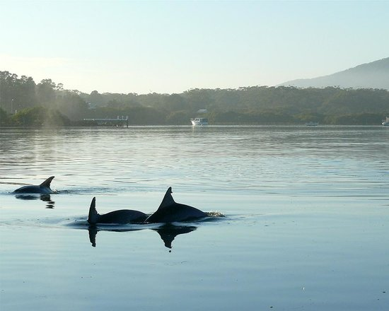Tea Gardens, Australia: Dolphins are always close by
