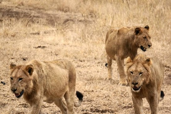 Singita Sweni Lodge: Lions