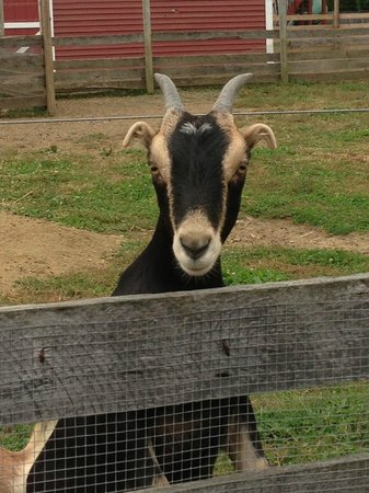 Barton Orchards: one of the goats
