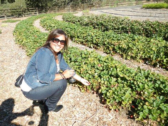 Healdsburg Wine Tours: organic strawberries