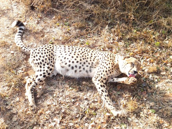 Marula Camp: Cheetah right in front of you