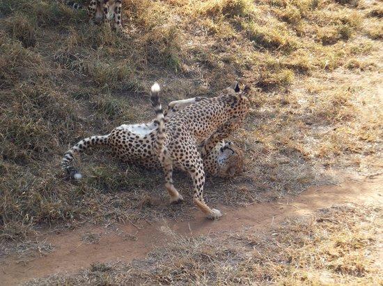 Tshukudu Marula Camp: Cheetahs playing