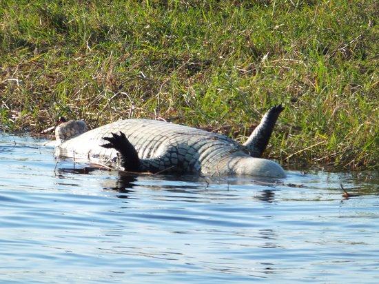 The Old House: dead crocodile