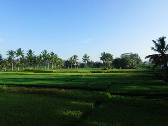 Nirwa Ubud Homestay : Rice fields
