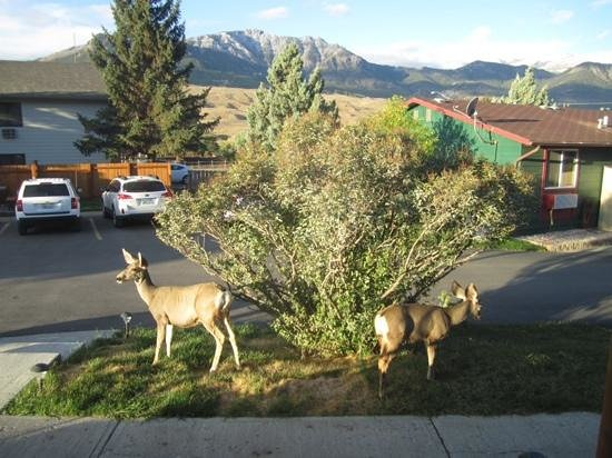 Yellowstone Gateway Inn: elk outside our front door