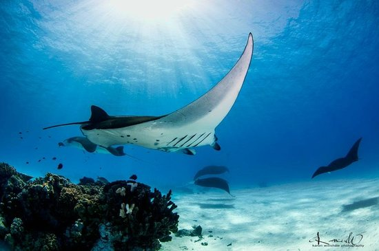 Cocos Dive Day Trips: Sunrays and Manta Rays; Mantas dancing around the