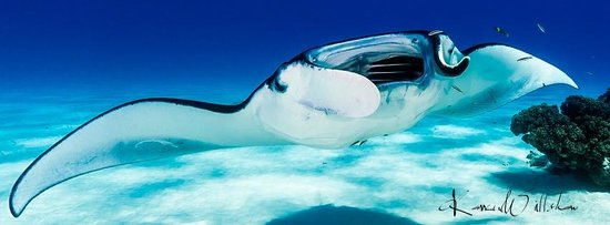 """Cocos Dive Day Trips: Manta Ray at the """"Service Station"""""""