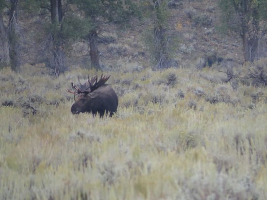 Wildlife Expeditions of Teton Science Schools: Moose at Grand Teton