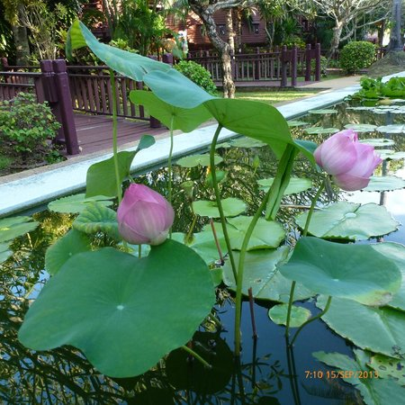 Lotus Flower In Lily Pond Picture Of Imperial Boat House Beach