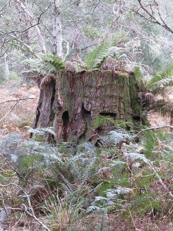 Forest Walks Lodge: Big Stump