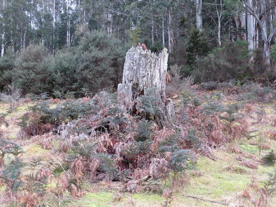 Forest Walks Lodge: Stump in the Forest