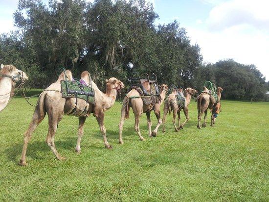 Giraffe Ranch: camel ride