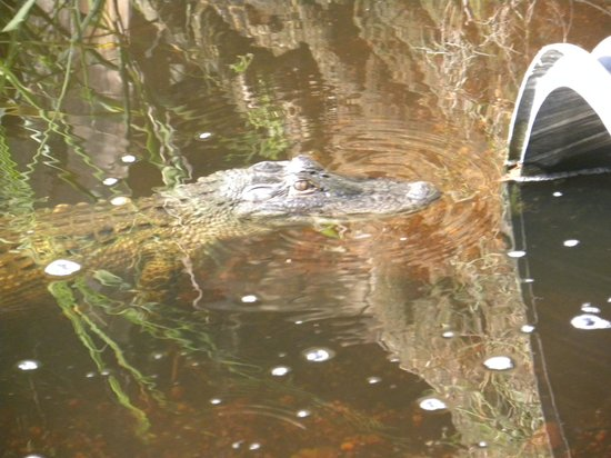 Fort Clinch State Park: Alligator Anyone