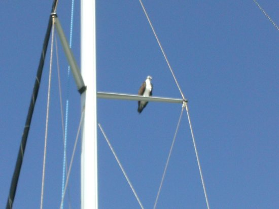 Marine Discovery Center: Osprey