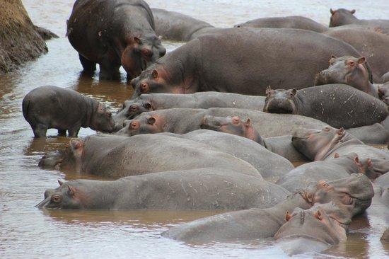Mara River Camp: Una cinquantina di ippopotami di fronte alle lodge